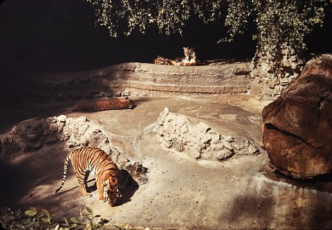 Tigers, Unknown Zoo